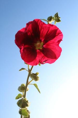 Jeu d'ombre sur une rose trémière en plein soleil